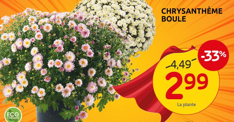 Profitieren Sie von unser Angebot auf die Chrysanthemen